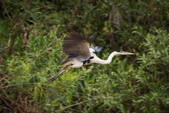 Cocoi heron flying past trees and bushes Royalty Free Stock Photo