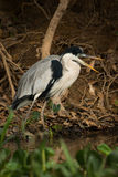 Cocoi heron with open beak by river Royalty Free Stock Photography