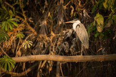 Cocoi heron perched on branch in profile Stock Photography