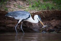 Cocoi heron picking up fish with beak Royalty Free Stock Photo