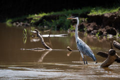 Cocoi heron in shallows of muddy river Stock Photos