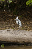 Cocoi Heron with Spotted Catfish Standing on Fallen Tree Royalty Free Stock Images
