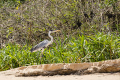 Cocoi Heron Standing along Riverbank Stock Photography