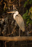 Cocoi heron standing on branch in profile Stock Images