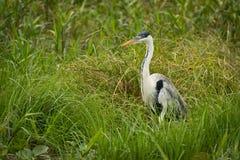 Cocoi heron standing in grass facing left Stock Photos