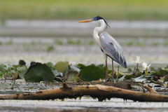 Cocoi Heron Standing in a Shallow Marsh Royalty Free Stock Photos