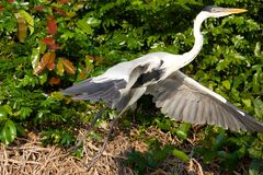 Cocoi Heron Taking Off Stock Photos