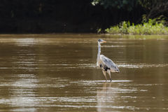 Cocoi Heron Wading in Muddy River Stock Images