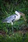 Cocoi heron walking with fish in beak Stock Photography