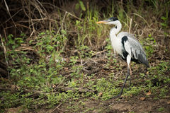 Cocoi heron walking past bushes in forest Stock Photos