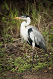 Cocoi heron walks past bushes in forest Royalty Free Stock Photos