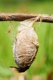 Cocon de mite de Cecropia photos stock