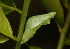 Cocon of pop van een gemeenschappelijke kalkvlinder, papiliodemoleus Stock Afbeelding