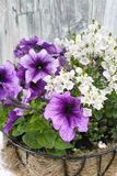 Coconat hanging basket with purple petunia and white flowers. On wooden background Stock Images