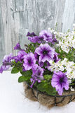 Coconat hanging basket with purple petunia and white flowers. On wooden background Stock Photos