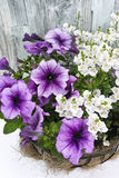 Coconat hanging basket with purple petunia and white flowers Stock Photo