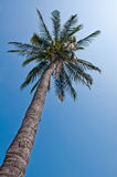Coconat or palm. Royalty Free Stock Photo