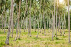 Coconat Palm Tree as natural background. Coconat Palm Tree as nature green background Stock Photo