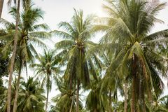 Coconat Palm Tree as natural background. Coconat Palm Tree as nature green background Stock Image