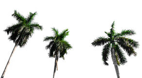 Coconout tree Royalty Free Stock Image
