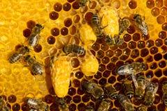 Cocons de cire avec les larves de futures reines des abeilles photo stock