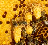 Cocons de cire avec les larves de futures reines des abeilles photos stock