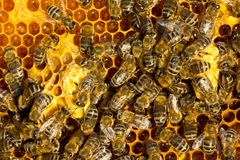 Cocons de cire avec les larves de futures reines des abeilles photographie stock libre de droits