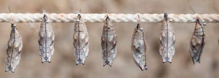 cocons de papillon sur un bâton images stock