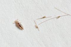 Cocons de pou et de lentes sur le fond de livre blanc Image stock