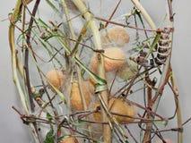 Cocons et ver ? soie pour la fabrication en soie photo stock