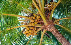 Free Coconut Royalty Free Stock Image - 12917746