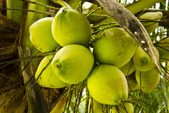 Coconut. The Coconut tree in thailand stock photos