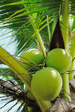 Coconut. When we see a coconut. It makes we think of a tropical beach holiday atmosphere Stock Photos