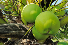 Coconut. When we see a coconut. It makes we think of a tropical beach holiday Stock Photo
