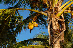 Coconut. Bright coconuts at a palm tree Stock Photo