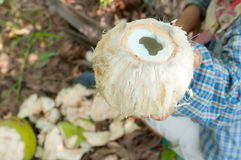 Coconut. Fresh Coconut in the garden Royalty Free Stock Photography