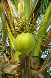 A coconut. A green coconut on coconut tree Stock Image