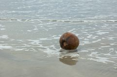 Coconut. Wet coconut in the beach Royalty Free Stock Photo