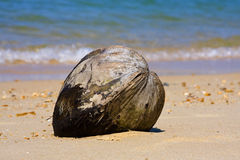 Coconut. Ripe coconut on the beach Royalty Free Stock Images