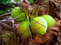 Coconut 9 Stock Photography