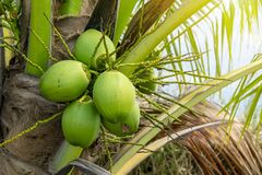Coconut aromatic small tree in agricultural field organic. royalty free stock photo