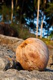 Coconut @ the beach. Tropicana coconut at the beach Stock Image