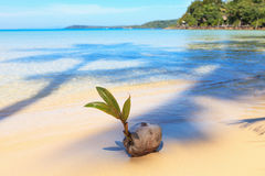 Coconut on the beach. Sprouting coconut on the sandy beach Stock Images