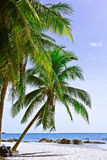 Coconut. A beach is beautiful,   a sea green water,   the sky is blue,             a cloud  white Royalty Free Stock Images