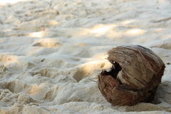 Coconut on the beach. Fallen down from a palm tree Royalty Free Stock Photo