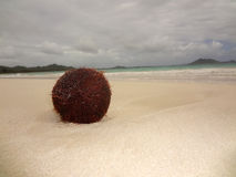 Coconut on Beach Royalty Free Stock Photo