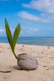 Coconut beach sprouting Royalty Free Stock Image