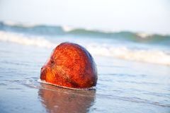 Coconut on the beachfront Stock Images