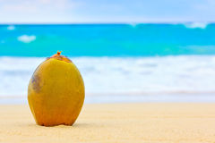 Coconut on a beautiful beach in Cuba Royalty Free Stock Photo