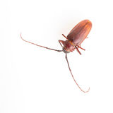 Coconut beetle Stock Images